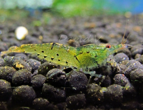 Caridina cf serrata : Var. « Apple Green »
