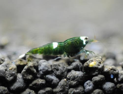 Caridina cf. antonensis Var. Taiwan bee «Green Hulk»