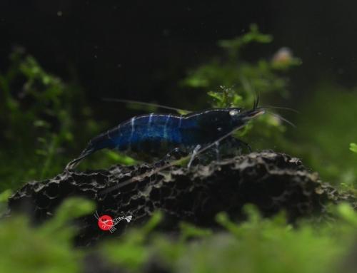 Caridina cf. cantonensis var Royal Blue