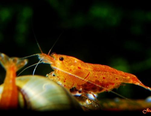 Caridina sp. Orange Tiger « Bloodshot »